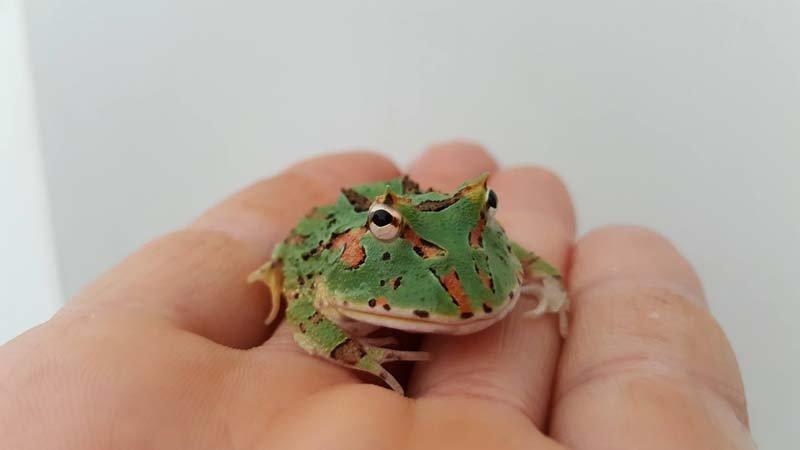rana sul palmo di una mano