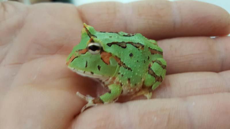 specie particolare di rana su una mano