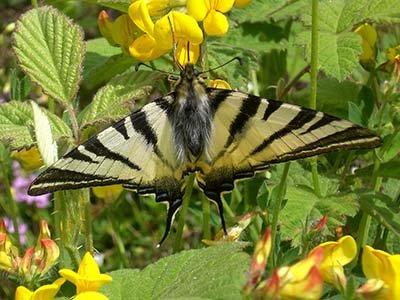 farfalla sul fiore in Umbria