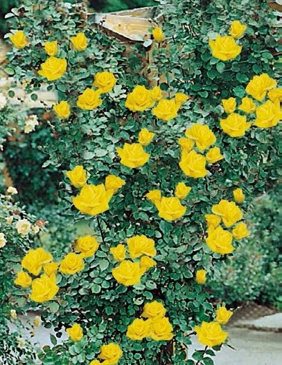 giallo puro