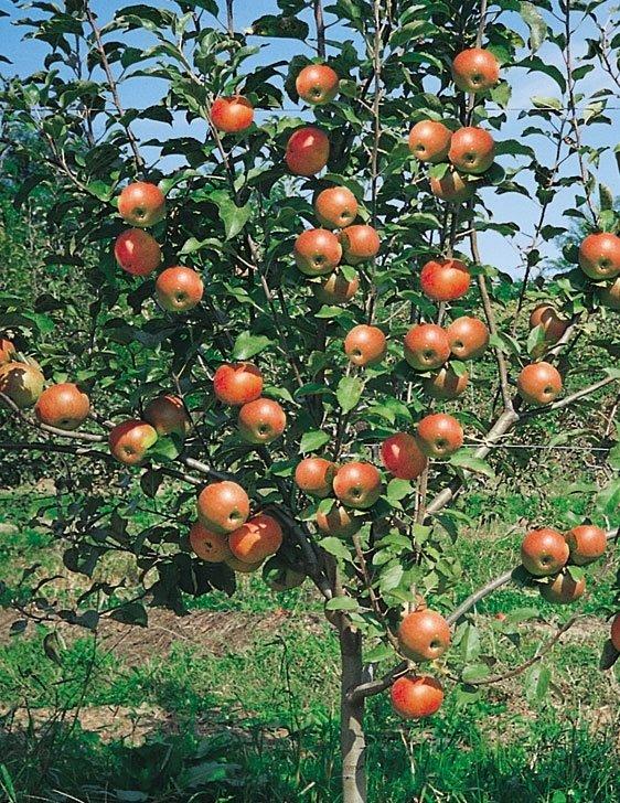 mela spur rosso