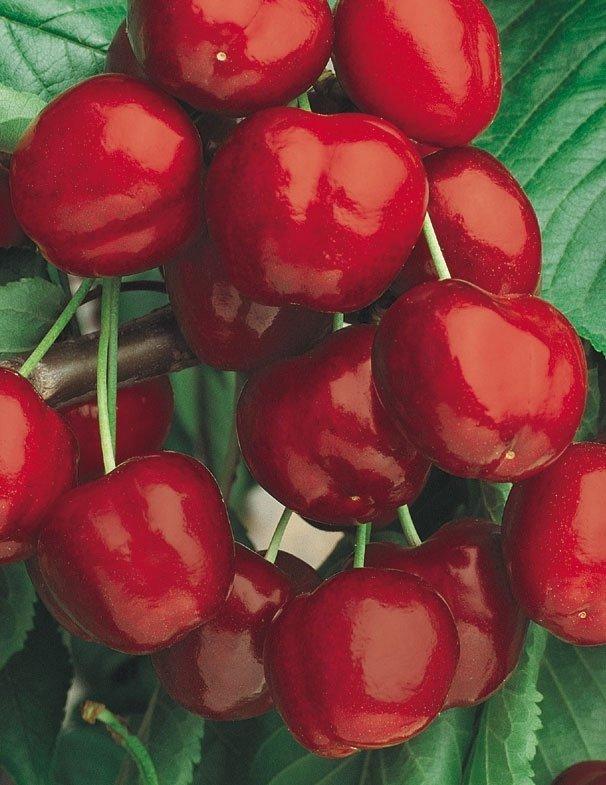 ciliegie durone nero di vignola