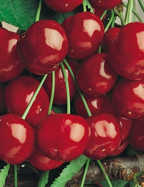 ciliegievittoria