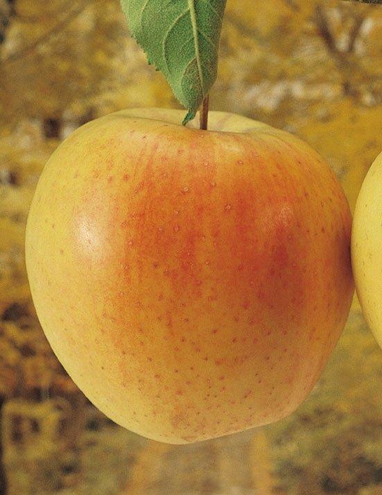 mela golden delicious val di non