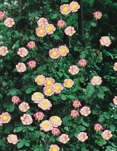 rosa fondo bianco