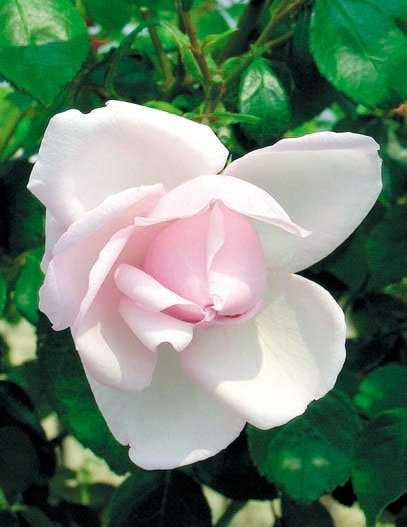 rosa pendula