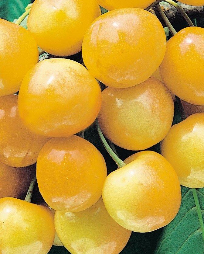 ciliegieimperiale