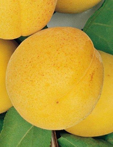 Albicocca Boccuccia