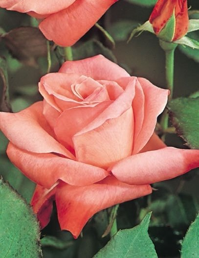 rosa carico