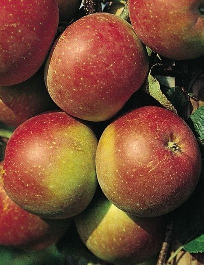 mela fuji rosso