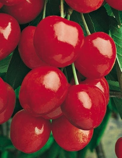 ciliegie durone della marca