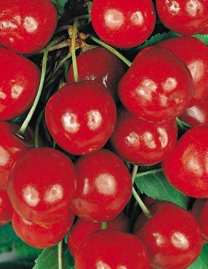 ciliegie gemelle