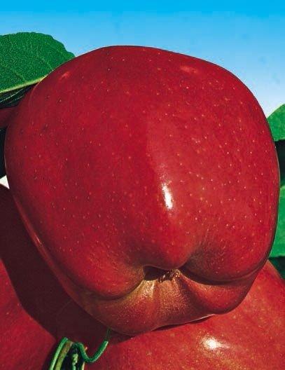 mela super starking