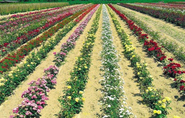 veduta parziale rosaio polyantha