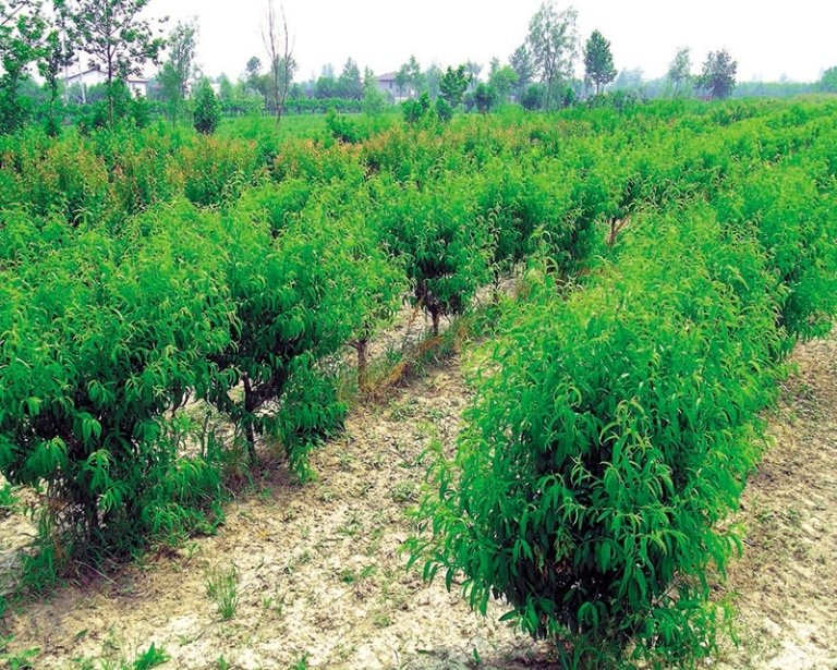 piazzale piante fruttifere