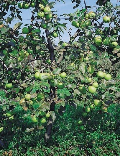mela spur giallo
