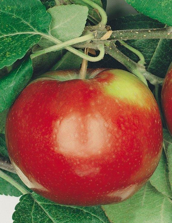 Produzione Piante Da Frutto : Produzione e vendita piante da frutto saonara padova