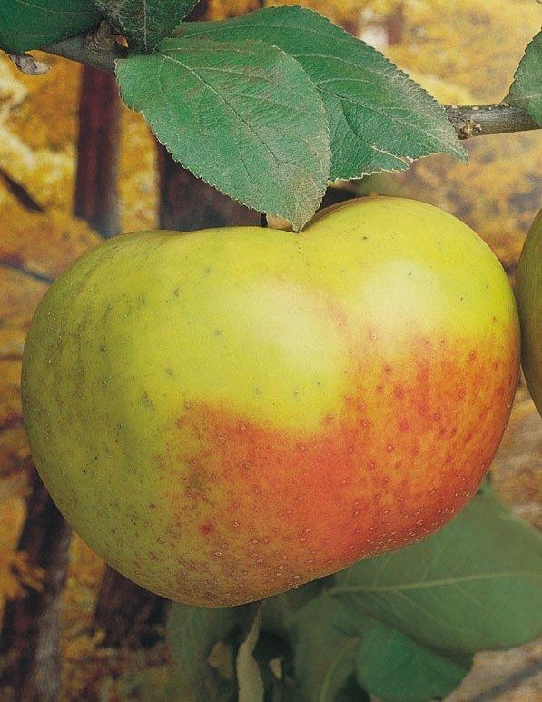 mela renetta de lcanada