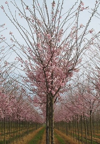 Prunuskanzan