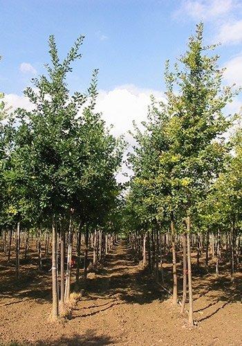 Quercusrobur