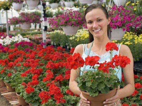 Fiorista con in mano una pianta di gerani rossi e altri gerani sullo sfondo