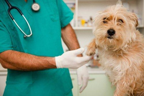un veterinario mentre controlla un cane