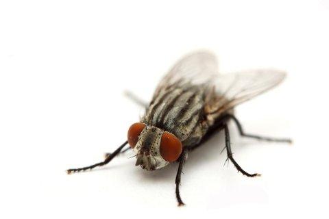 monitoraggio mosche