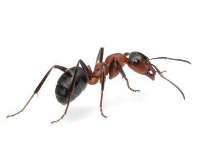 Disinfestazioni formiche