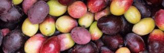 olive del frantoio