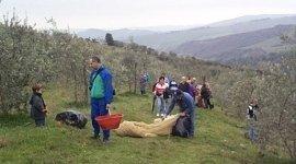 Raccolta delle olive in Toscana