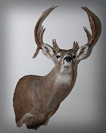 trophy deer hunts san angelo tx