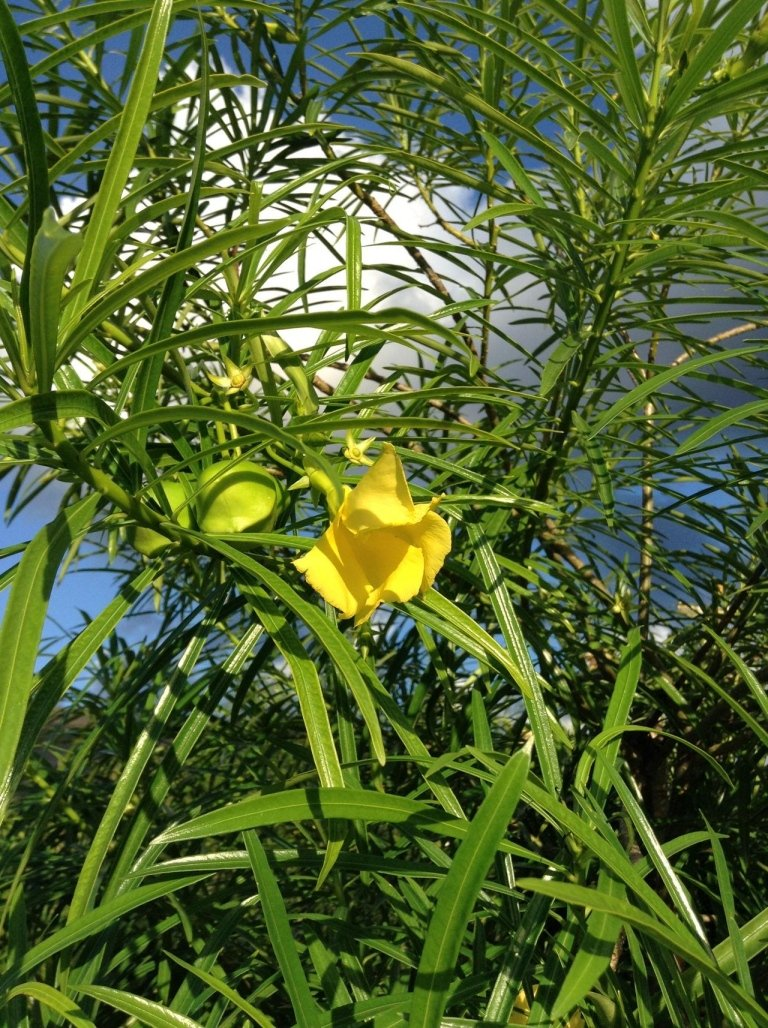 Thevetia yellow flower and fruit