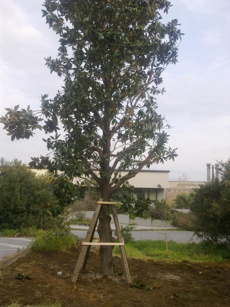 Magnolia transplant
