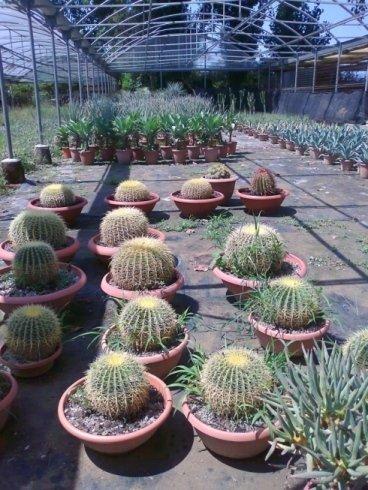 Echiinocactus