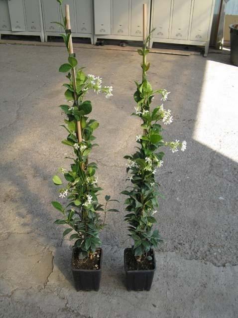 Ryncospermum Jasminoides