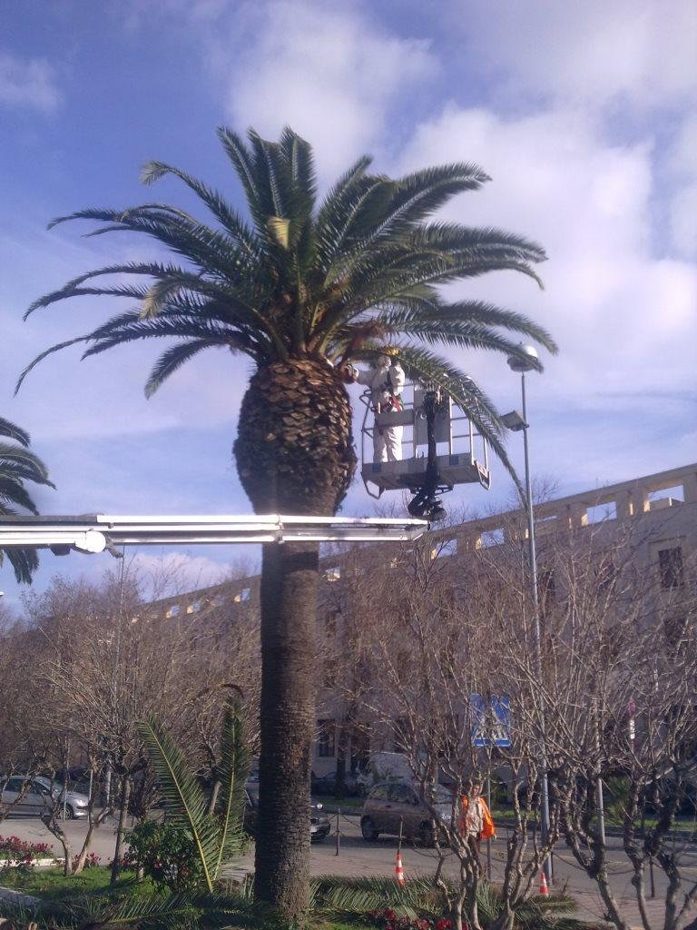 Pruning and monitoring against the Red Palm Weevil in Piazza Municipio in Messina