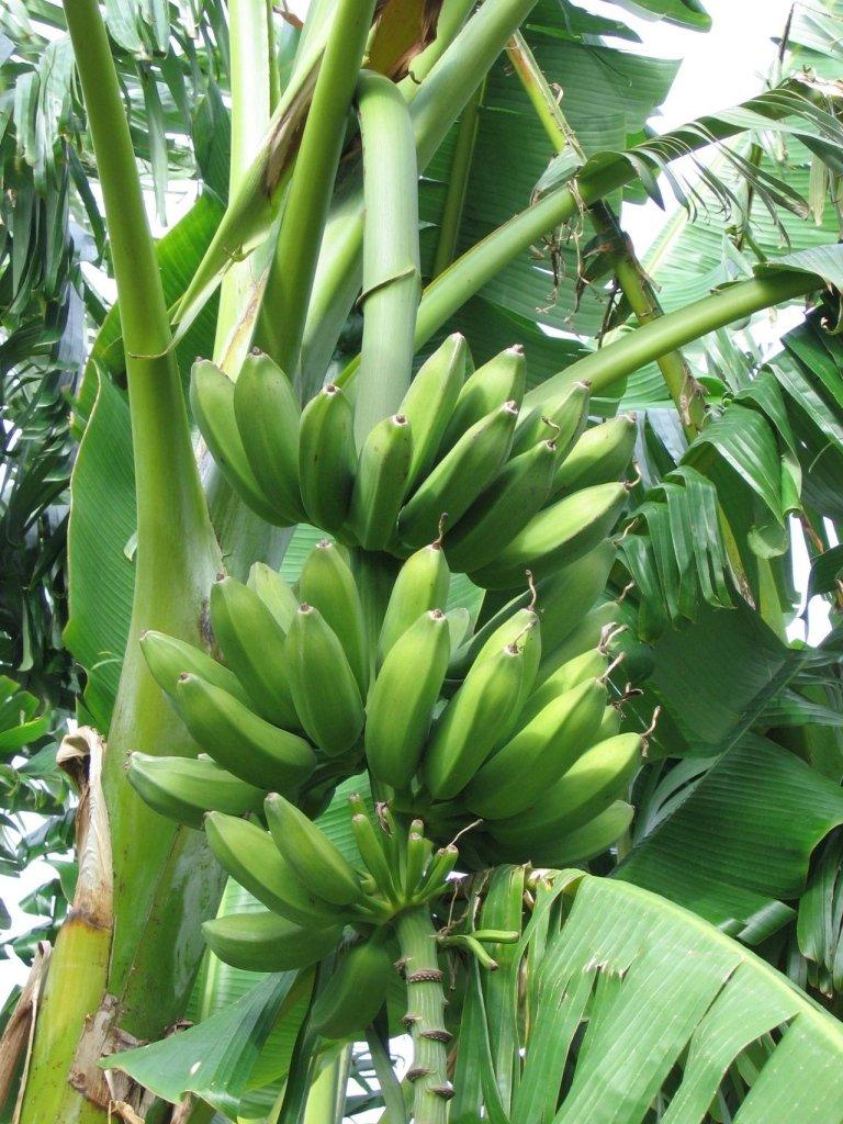 Musa Paradisiaca fruit