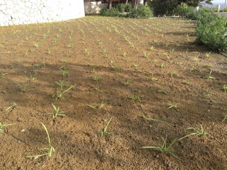 Gramignone planting