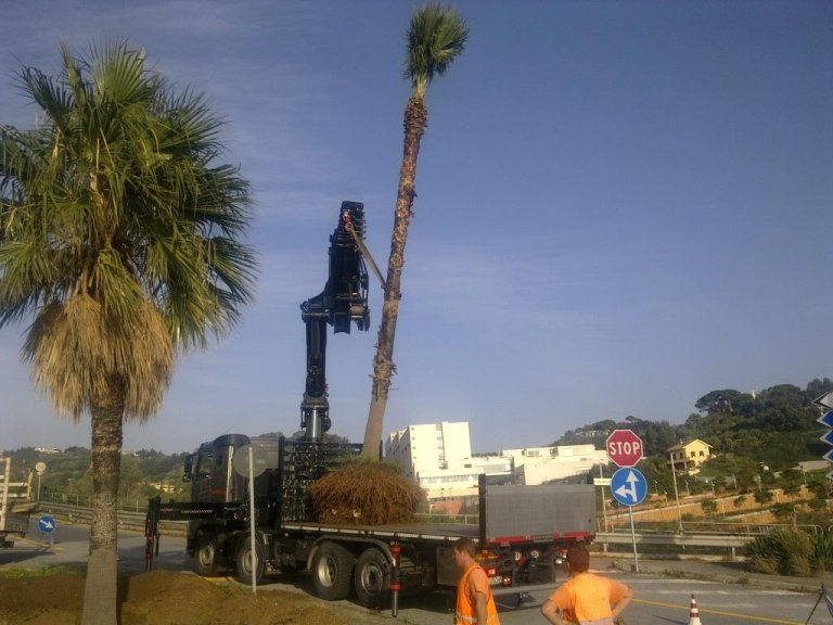 Washingtonia Robusta transplant