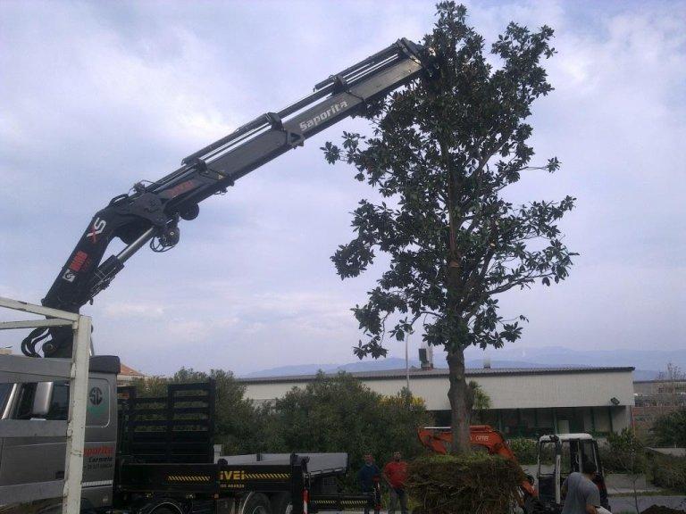 Trapianto Magnolia