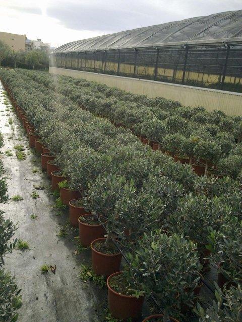 Bonsai olive