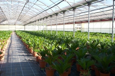 Cycas greenhouses