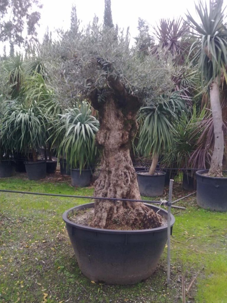 Centuries-old bonsai olive tree