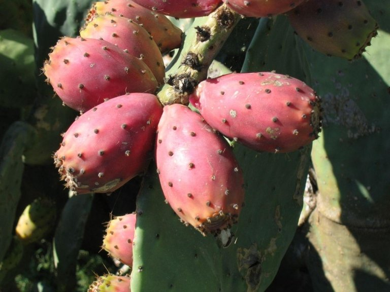 Indica Opuntia (prickly pear) fruit