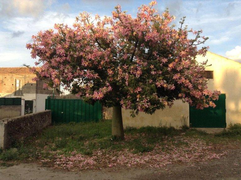 Chorisia Speciosa (Kapok) in bloom