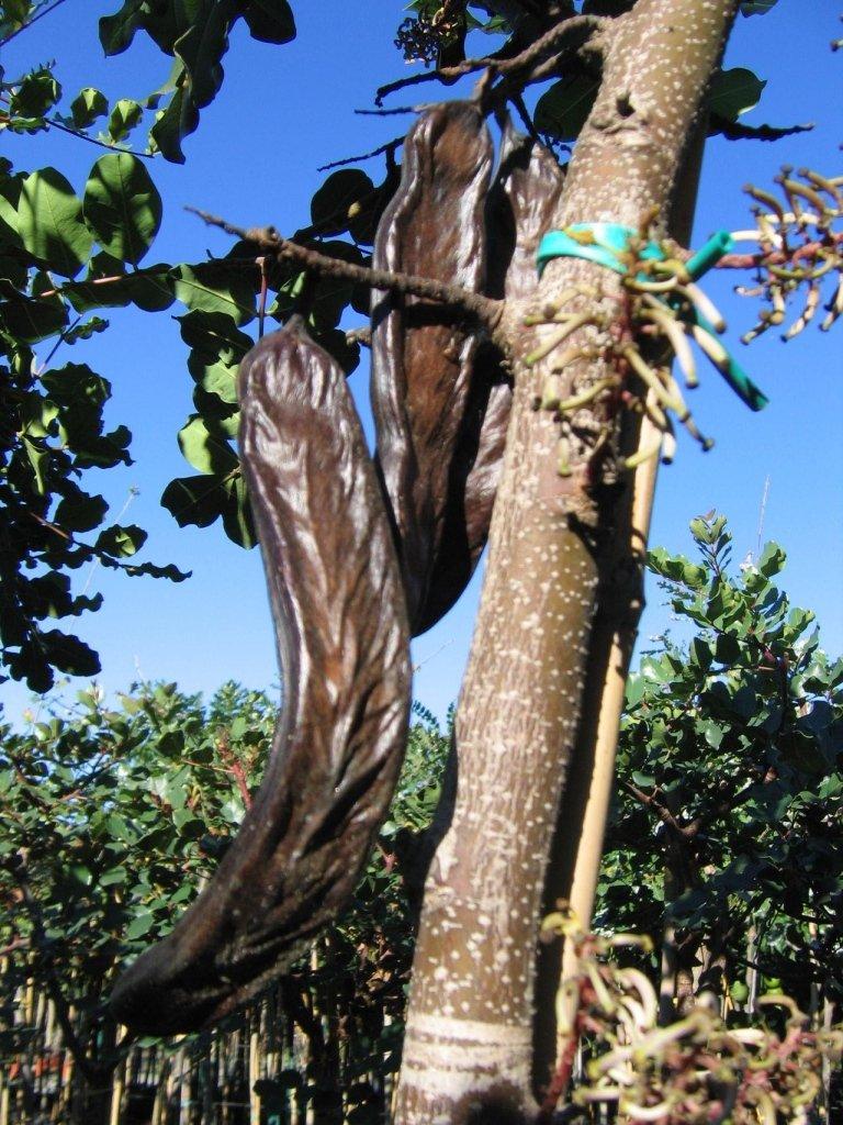 Ceratonia Siliqua (Carob) fruit