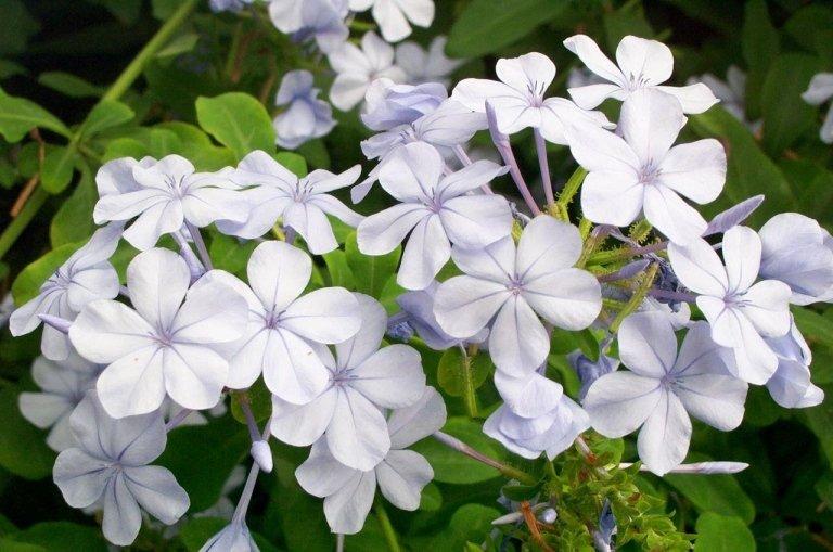 Plumbago Capensis flower