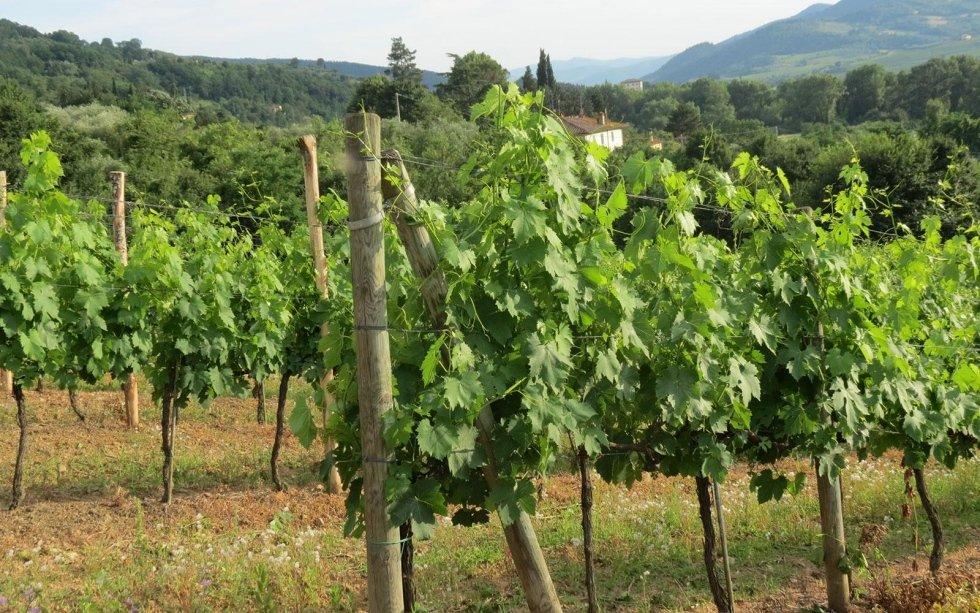 Produzione viti Canaiolo Nero