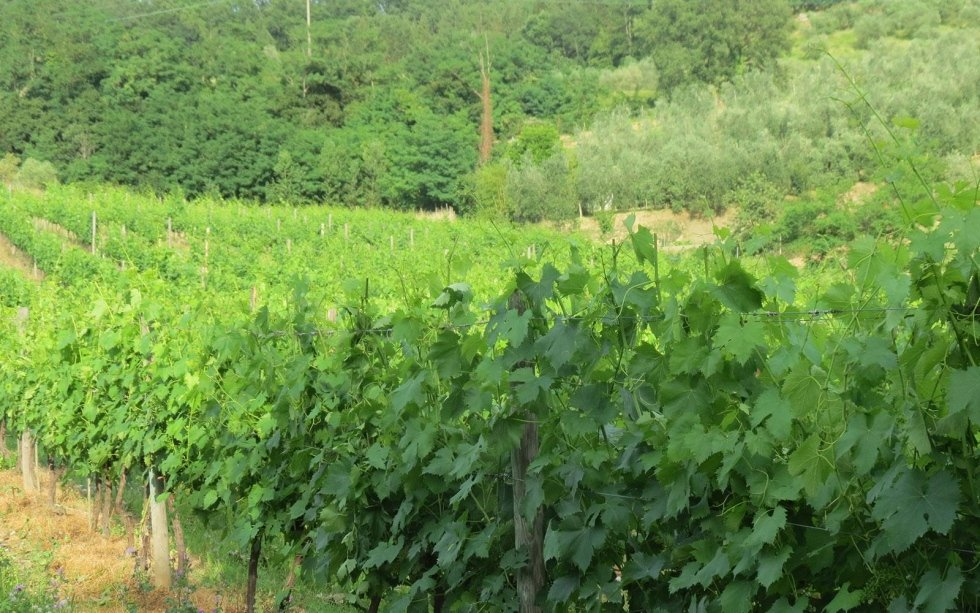 Produzione Trebbiano Toscano