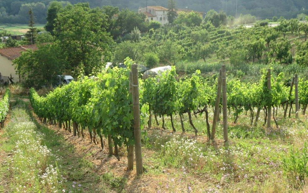 Produzione viti Sangiovese
